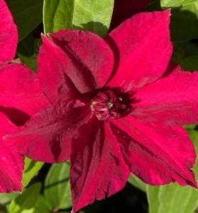 poza Plante agatatoare Clematis Perida  ghiveci 3  litri, h= 80-100 cm