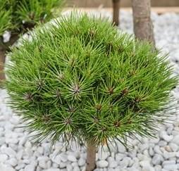 poza Arbusti rasinosi PINUS nigra Marie Bergeron 40-50cm