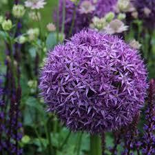 poza Plante perene de gradina, Allium  globemaster   ghiveci de 4 li