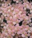poza Plante agatatoare Clematis montana Pink Perfection   ghiveci 2 litri, h=80 -100 cm