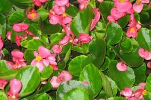 poza Flori de gradina anuale Begonia semperflorens /Ghetisoara Flori rosii in ghivece de 9 cm