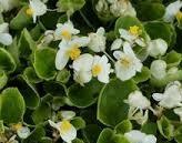 poza Flori de gradina anuale Begonia semperflorens /Ghetisoara Flori albe in ghivece de 9 cm