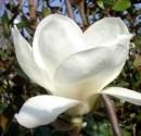 poza Magnolia soulangeana Alba Superba ghiv 10 l  h=100-120cm