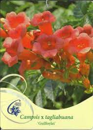 poza Plante agatatoare Campsis tagliabuana Guilfoylei  la ghiveci 3 litri, h=60-100 cm