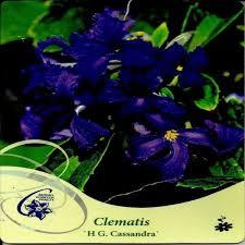 poza Plante agatatoare Clematis Cassandra  2 litri, h=50-80 cm