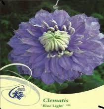 poza Plante agatatoare Clematis Blue Light 2 litri, h=50-80 cm