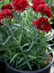 poza Flori de gradina perene Dianthus bordo   garofite   ghiv 14 cm