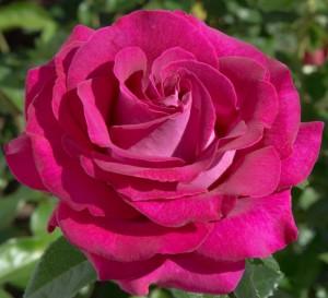 poza Trandafiri de gradina la ghiveci  soiul BELLES RIVES