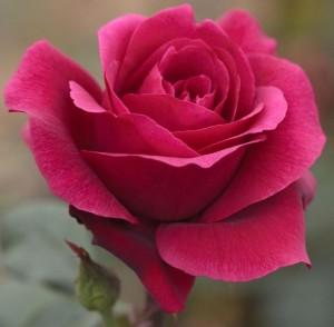 poza Trandafiri de gradina la ghiveci soiul CHARLOTTE RAMPLING
