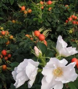 poza Rosa rugosa Alba - trandafiri arbustivi
