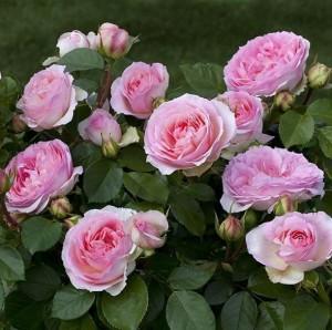poza Trandafiri de gradina cu radacina Giardina  la ghiveci de 3 l  h 60-80 cm