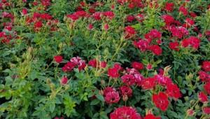 poza Trandafiri pitici de gradina soiul  Limesrose Saalburg  in ghiveci de 2 litri