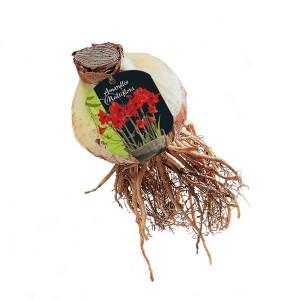 poza Bulbi Amaryllis Multiflora 1 buc/pachet, rosu - crin de camera