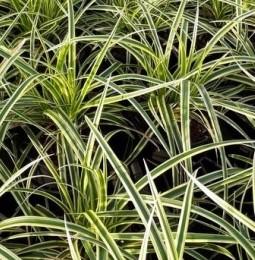 poza Ierburi graminee decorative Carex Vanilla Ice ghiveci 14cm