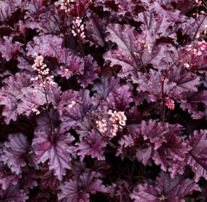 poza Flori de gradina perene Heuchera Forever Purple - ghiveci 14cm