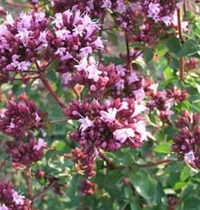 poza Plante aromatice de gradina, Origanum Rosenkuppel in ghiveci de 9cm