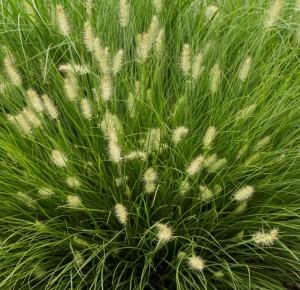 poza Ierburi graminee Pennisetum alopecuroides Little Honey, la ghiveci de 15 cm