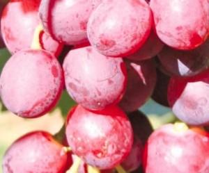 poza Vita de vie la ghiveci Swenson Red H=60-80cm