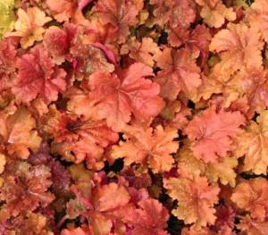 poza Flori de gradina perene Heuchera hybrid Caramel