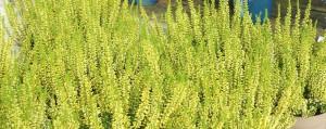poza Flori perene Calluna vulgaris , flori culoare lemon, ghivece P12