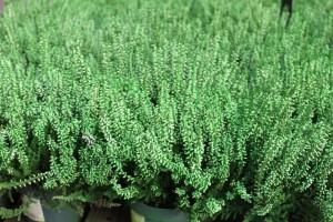 poza Flori perene Calluna vulgaris  green  ghivece 12 cm,