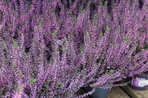 poza Flori perene Calluna vulgaris, flori mov  ghivece 12 cm,