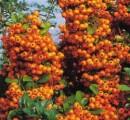 Arbusti decorativi prin frunze sau fructe (bobite)