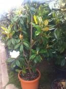 Magnolii (arbori si arbusti)