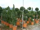 Arbusti forme tunse si altoite