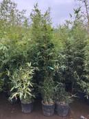 Bambusi de gradina