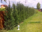 Galerie foto Gard viu, perdea de arbusti sau plante cataratoare cu frunze evergreen sau frunze cazatoare