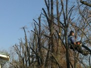 Galerie foto Doborarea, taierea, fasonarea si toaletarea arborilor periculosi, copacilor batrani, pomilor uscati, scorburosi, inclinati sau cazuti. Taierea ramurilor si crengilor uscate sau periculoase la pomii inalti.
