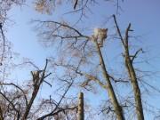 Galerie foto Doborari, taieri, fasonari si toaletari copaci periculosi, arbori batrani, pomi uscati, scorburosi, inclinati sau cazuti. Taieri ramuri si crengi uscate sau periculoase la arbori inalti.