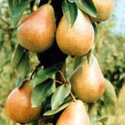 poza Peri diferite soiuri in ghivece. Pomi puieti fructiferi altoiti, ghiveci 4l, h=130 cm