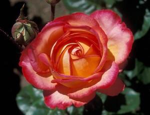 poza Trandafiri Chivalry (la ghiveci)