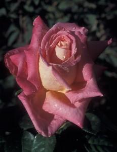 poza Trandafiri Cliche (la ghiveci)