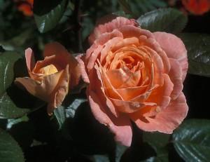 poza Trandafiri Georgia (ghiveci)