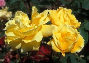 poza Trandafiri Golden Harvest (ghiveci)