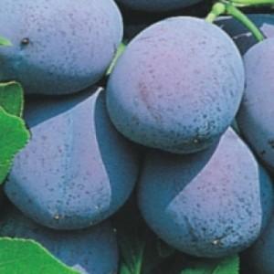 poza Pomi fructiferi Pruni , ghiveci 4l, h=130 cm Puieti fructiferi altoiti.