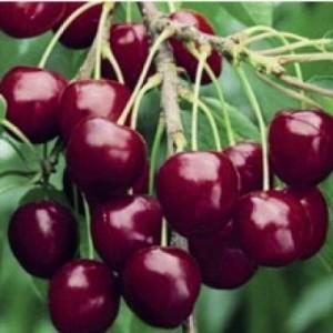 poza Pomi fructiferi Ciresi soiul `Stella`.  Puieti fructiferi altoiti, radacina ambalata.