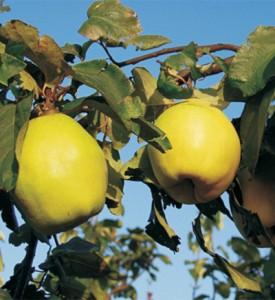 poza Pomi fructiferi Gutui Bereczki la ghiveci. Puieti fructiferi altoiti.