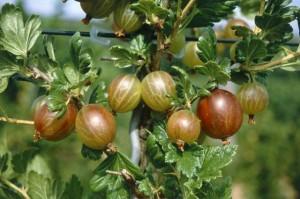 poza Arbusti fructiferi Agris rosu (Ribes uva crispa)