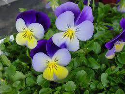 poza Flori de gradina bienale Viola cornuta mini / Panselute miniaturale Flori la ghivece de 9 cm