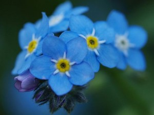 poza Flori de gradina bienale Myosotis alpestris / Nu- ma- uita. Flori de gradina bienale la ghivece de 9 cm.