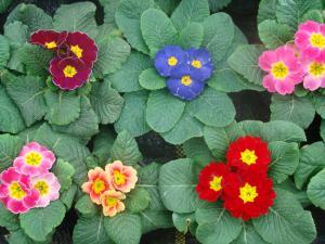 poza Flori de gradina bienale Primula acaulis /Primule fl mare Flori la ghivece de 11 cm