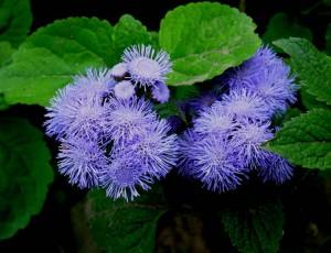 poza Flori de gradina anuale AGERATUM MEXICANUM/PUFULETI Flori in ghivece de 9 cm