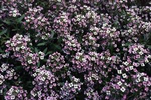 poza Flori de gradina anuale Allisum marittimun/ Ciucusoara.Flori in ghivece de 9 cm