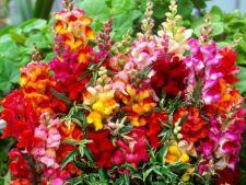 poza Flori de gradina anuale Anthirrinium majus/Gura leului Flori in ghivece de 9 cm