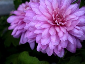 poza Flori de gradina anuale Dahlia variabilis / Dalia. Flori la ghiveci de 9 cm.
