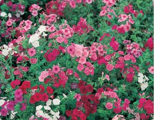 poza Flori de gradina anuale Phlox drumondii / Flox. Flori de gradina la ghiveci de 9 cm